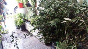 Exclusivo: Las ventas de ramos deolivos para el Domingo de Ramos este año, han disminuido notablemente